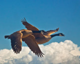 Geese above the clouds  _MG_2277.jpg