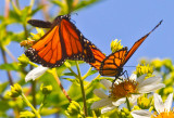 Two monarchs and a bee  _MG_1242.jpg