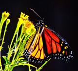 Monarch flower black  _MG_1161.jpg