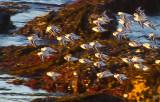 Flock of tiny seabirds _MG_8621.jpg