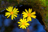 Yellow and blue _MG_1747.jpg
