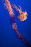 Jellyfish Monterey Bay Aquarium  _MG_1620.jpg