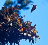 Monarchs _MG_0335.jpg