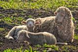 Sheep _MG_2533.jpg