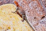 Lizard San Diego Zoo _MG_7086.jpg