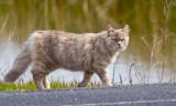 Wild cat at Coyote Hills  _MG_5409.jpg