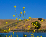 Yellow flowers yellow land   _MG_0738.jpg