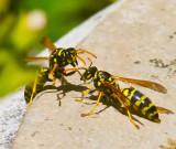 Wasps talking _MG_4323.jpg