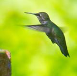hovering annas hummingbird _MG_4066.jpg