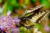 Anise swallowtail butterfly _MG_4709.jpg