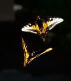 Dancing butterflies _MG_4767.jpg