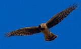 Squawking hawk  _MG_5388.jpg