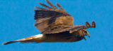 Open beaked hawk  _MG_5166.jpg