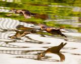 Ducks in an alien land  _MG_3250.jpg