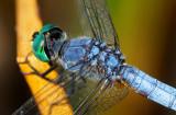 Green eyed dragonfly  _MG_9776.jpg