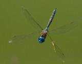 X wing dragonfly _MG_5949.jpg