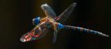 Glowing wing butterfly _MG_5925.jpg