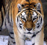 Tiger in Winter 1652 mod.jpg