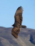 Turkey Vulture banking  _MG_5968.jpg