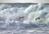 Wave skimming pelicans.jpg