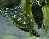 Dancing Turtles! 6497.jpg