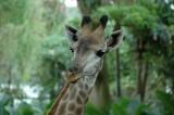 Singapore Zoo 4