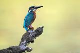 Kingfisher -Alcedo atthis - IJsvogel