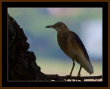 BIRDS IN GOA IN INDA 2