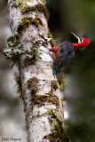 Crimson Bellied Woodpecker