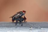 Flies having fun...(Sarcophaga sp.)
