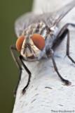 Sarcophaga spp. Fly