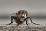 Fly (Sarcophaga) Digesting