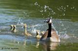Canada Goose/Bernache de canada