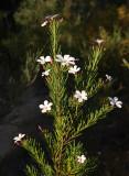 Ricinicarpos pinifolius