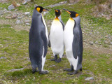 King Penguins in conference