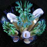 Anemone Fest Size: 1.44 Price: SOLD