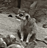 Meerkat4-712_lzn.jpg