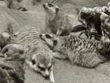 Meerkat-705_lzn.jpg