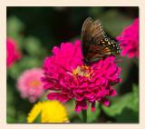 Spicebush Swallowtail1.jpg
