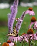 swallowtail2jpg.jpg