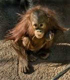 Baby Girl Orangutan