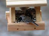 Juvenile Chipping Sparrow: Spizella passerina