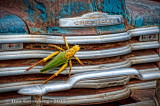 Grasshopper on Chevy Truck