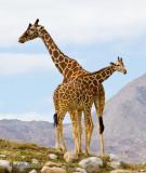 Giraffes, mom and baby