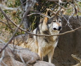 Lobos, mexican wolf