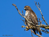 Red-tailed Hawk on tree