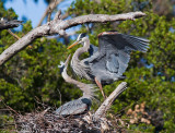 Great Blue Heron, pair at nest
