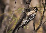 Ladder-backed Woodpecker, female