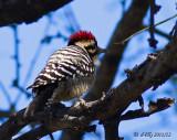 Ladder-backed Woodpecker, male.
