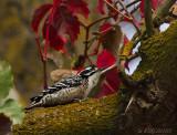 Nuttall's Woodpecker, male